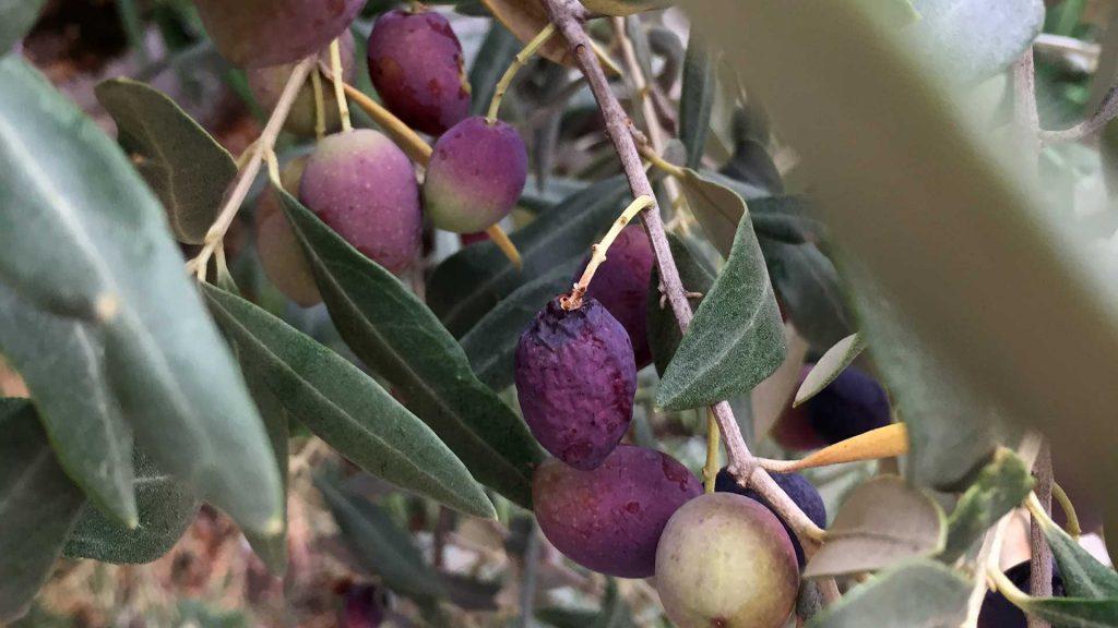 nueva-campana-recogida-oliva-somontano